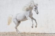 fineartcolor-263-WhiteStallionLeaps