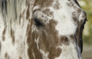 fineartcolor277-AutumnAppaloosa'sEyes