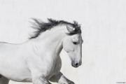 fineartcolor293-WhiteStallionRunningBy