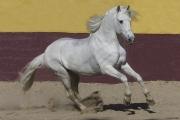 fineartcolor298-WhiteStallionRunswithPride