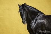 fineartcolor-347-BlackStalliomTurnstoLook