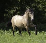 fineartcolor-355-BuckskinStallionsApproach