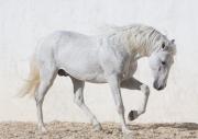fineartcolor305-WhiteStallionPaws