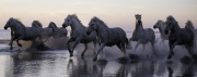 fineartcolor309-CamargueHorsesRunIntotheSunset