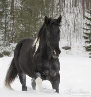 fineartcolor397-SnowyPinto
