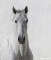 fineartcolor-332-WhiteStallionsFace