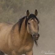 fineartcolor-335-BuckskinStallionComesClose