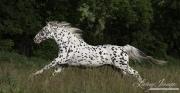 fineartcolor-349-LeopardRunning