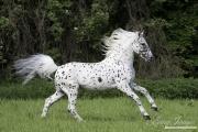 fineartcolor-350-SpottedStallionLeaps