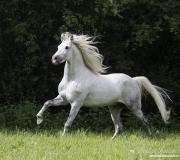 fineartcolor-357-WhiteStallionRunsFRomtheForest