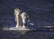 fineartcolor311-TwoCamargueHorsesSwim