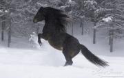 fineartcolor380-SnowyStallionRears
