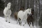 fineartcolor395-SnowyArabiansRun