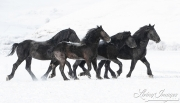 fineartcolor-414-PercheronStallionsMoveThroughtheSnow