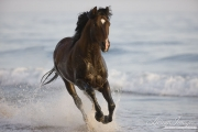 Summerland Beach, Ojai, CA, horse, purebred bay Azteca stallion running in water