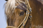 Ojai, CA, purebred horse, Peruvian Paso stallion close up