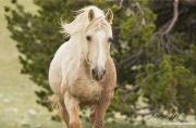 Pryor Mountains, Montana, wild horses, palomino stallion head on