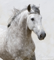 Ejicia, Spain, purebred Andalusians, grey stallion runs