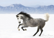 Purebred grey Andalusian mare running in the snow in Longmont, CO