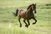 purebred Bay Dutch Warmblood mare running in Longmont, CO