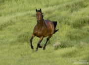 Bay Warmblood mare running in Longmont, CO