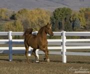purebred Chestnut Arabian gelding running in Boulder, CO