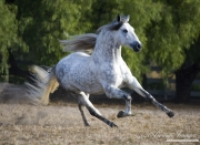 purebred grey Andalusian stallion running in Ojai, CA