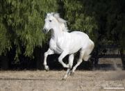 purebred Grey Andalusian stallion running, Ojai, CA