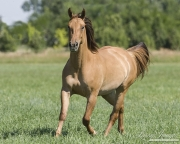 Red dun purebred Quarter Horse Mare trotting in Longmont, CO