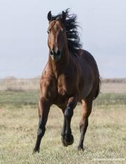 purebred Bay Quarter Horse stallion running in Longmont, CO