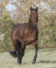 purebred Bay Quarter Horse stallion trots in Longmont, CO