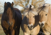 purebred Bay Andalusian stallion with 2 purebred Norwejian Fjord geldings in Berthoud, CO