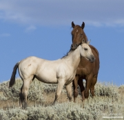 Flitner Ranch, Shell, WY - purebred sorrel Quarter horse mare with buckskin foal