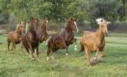 purebred Peruvian Paso Mares run in Sante Fe, NM