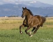 purebred Liver Chestnut gelding running in Longmont, CO