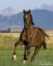 purebred Liver Chestnut thoroughbred gelding running in Longmont, CO