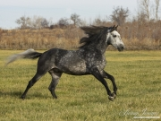 Grey Andalusian stallion running in the fall in Longmont, CO
