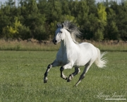 purebred Grey Andalusian stallion running in Longmont, CO