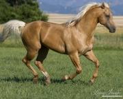 purebred Palomino Quarter Horse stallion running in Longmont, CO