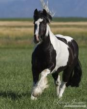 Gypsy Cobb stallion running in Longmont, CO