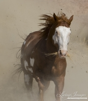 Flitner Ranch, Shell, WY - purebred paint horse runs downhill in a cloud of dust