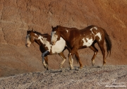 Flitner Ranch, Shell, WY - two purebred paint horses trotting together