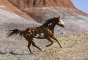 Flitner Ranch, Shell, WY - purebred paint horse runs with painted hills backdrop