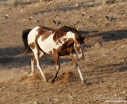 Flitner Ranch, Shell, WY - purebred paint horse trotting down hill with neck arched