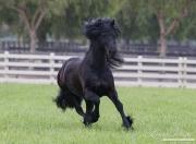 purebred Black Friesian stallion trotting in Ojai, CA