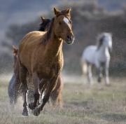 horses running through water at Sombrero Ranch, Craig, Colorado