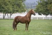 purebred Chestnut Paso Fino stallion, Ojai, CA