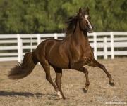 purebred Chestnut Peruvian Paso Stallion in Ojai, CA
