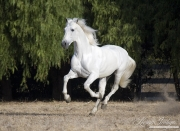 purebred Grey Andalusian stallion running, Ojai, CA