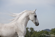 purebred Grey Arabian Stallion, Ojai, CA